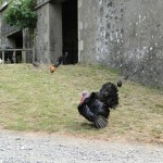 Godzilla our Turkey, Blair Farm, Bed and Breakfast, South Ayrshire, Scotland